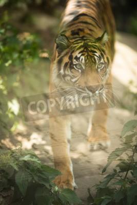 Fototapeta Detailní záběr na sibiřského tygra proto vědět, jak Amur tygr (Panthera tigris altaica), velký největší žijící kočky