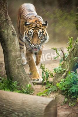 Fototapeta Detailní záběr na sibiřského tygra také vědět, jak Amur tygr (Panthera tigris altaica), největší žijící kočky