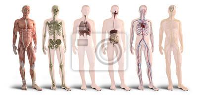 Fototapeta Digitální 3d vykreslení orgánů lidského těla