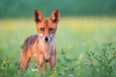 Fototapeta Divoké liška při pohledu na fotoaparát