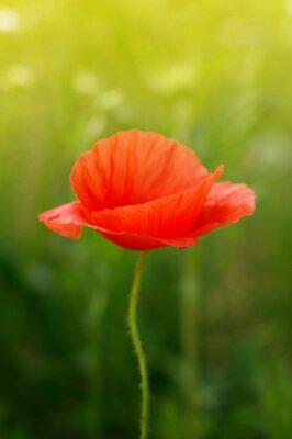 Fototapeta divoký mák květiny na poli