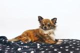 dc853a6bcd9 Dlouhosrstý žíhaný a bílý pes čivava ležící uvnitř na deku na bílém pozadí