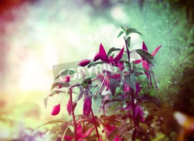 Fototapeta Docela Fuchsia květiny na letní zahradě pozadí zblízka tónovaný