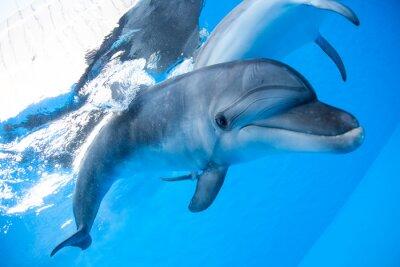 Fototapeta Dolphin plave pod vodou