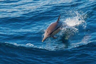 Fototapeta Dolphin skákat ven z vody