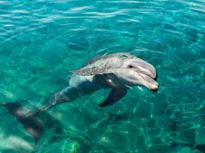 Fototapeta Dolphin usmívá se jako Mona Lisa