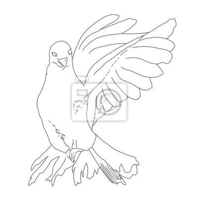 Dove Letani Ilustrace Perokresby Kresba Holubice Letani Fototapeta