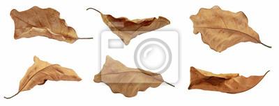 Fototapeta dry leaf or dead leaf isolated on white background