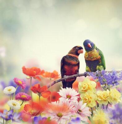 Fototapeta Duha Papoušci (duhový mnohobarvý)
