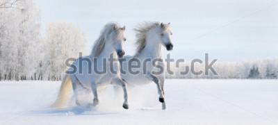 Fototapeta Dva galloping bílé waleské poníky na sněhu pole