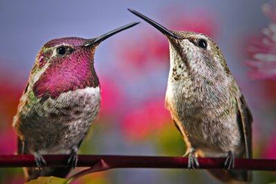 Fototapeta Dva kolibříci stojí vedle sebe na větvičku s květinami v pozadí.
