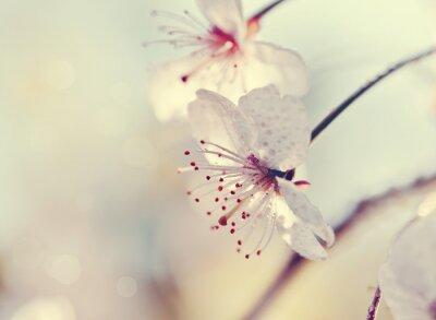 Fototapeta Dva květy cherry close-up