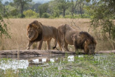 Fototapeta dva lvi bratři na napajedlo