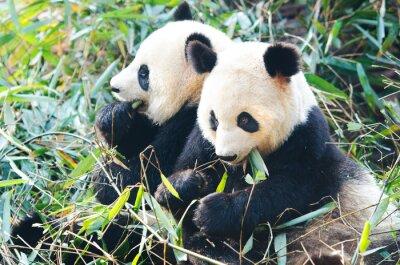 Fototapeta Dva Panda medvědi jíst bambus, sedící vedle sebe, Čína