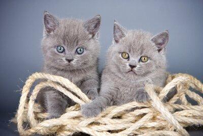 Fototapeta Dva šedé kotě Britové a lano na šedém pozadí