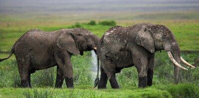 Fototapeta Dva sloni v Savannah. Afrika. Keňa. Tanzanie. Serengeti. Masai Mara. Vynikající ukázkou.