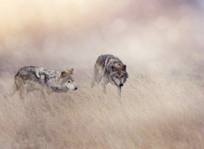 Fototapeta Dva vlci ve vysoké trávě