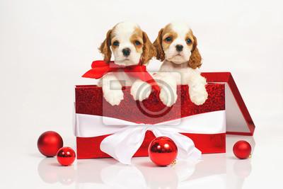 fcdc9489a0f Fototapeta Dvě bílé a červené americké kokršpanělské štěňátka představují  dohromady ve velké červené vánoční dárkové krabici