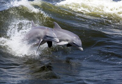 Fototapeta Dvě Delfín skákavý (Tursiops zkrátí)