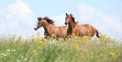 Fototapeta Dvě kaštanové koně běží spolu