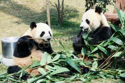 Fototapeta Dvě obří pandy jíst bambus
