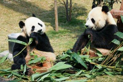 Fototapeta Dvě pandy jíst bambus