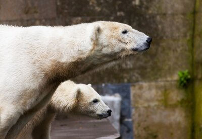 Fototapeta Eisbären Schauen