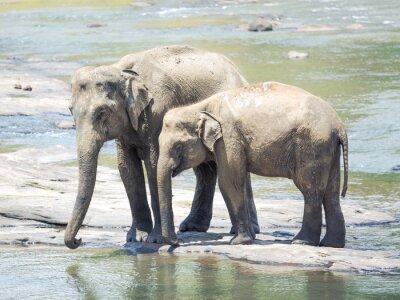 Fototapeta Elephatnts