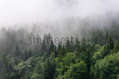 Fototapeta Evergreen Forest Přehled - vrcholy vysokých zelených stromů s hustou mlhou válečnou v bujné divočině