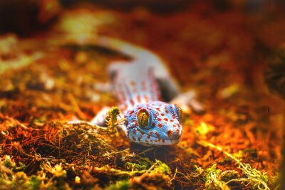 Fototapeta exotické zvíře gekon obrovský ještěr