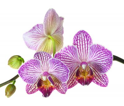Fototapeta Extrémní hloubky ostrosti fotografie Tři květy orchidejí
