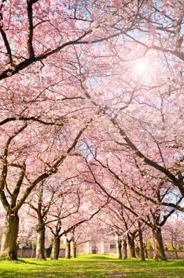 Fototapeta Farbe des Frühlings: Garten mit Japanischen Cherry Blossom :)