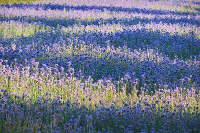Fototapeta Fialový květ pole