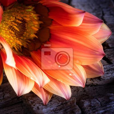 Fototapeta fiore con Goccie d'acqua