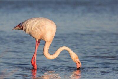 Fototapeta Flamingo, Camargue, Francie