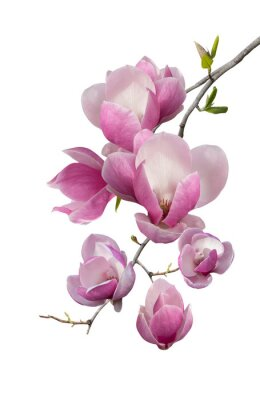 Fototapeta Flowering branch of magnolia