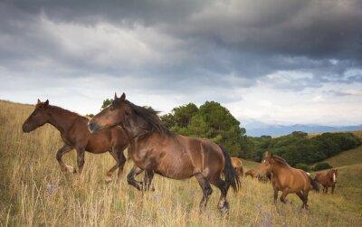 Fototapeta Foto di cavalli al galoppo