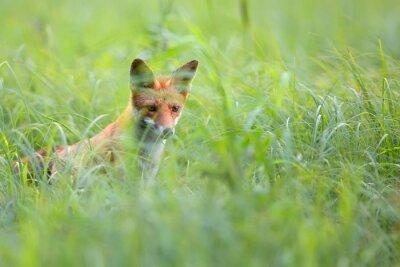 Fototapeta Fox skryté v trávě ve volné přírodě