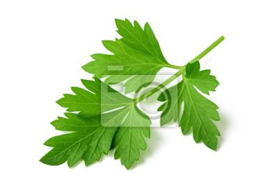 Fototapeta Fresh parsley