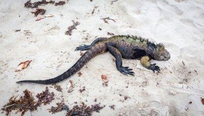 Fototapeta Galapágy mořské Iguana