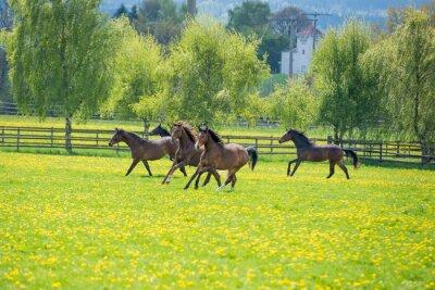 Fototapeta galopoierende mladí koně na pastvě
