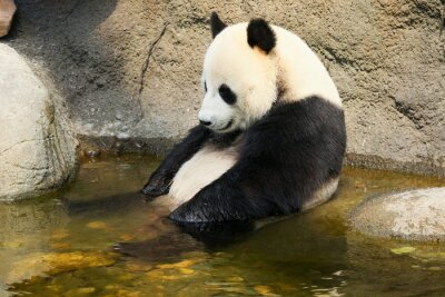 Fototapeta Giant panda sitting in water