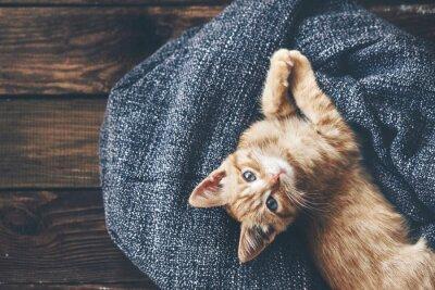 Fototapeta Gigner kotě