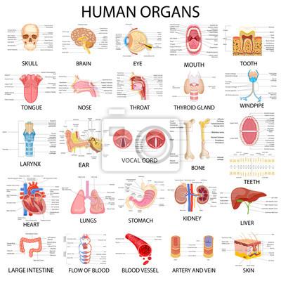 Fototapeta Graf různých lidských orgánů