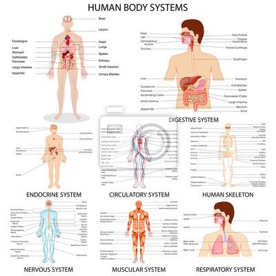 Fototapeta Graf různých lidských orgánů systému