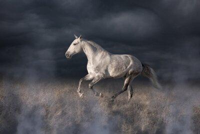 Fototapeta Gray Lusitanian kůň běh
