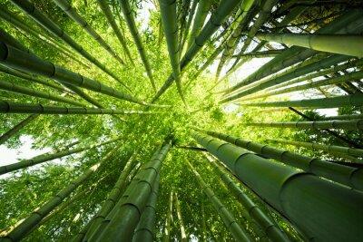 Fototapeta Green bamboo nature backgrounds