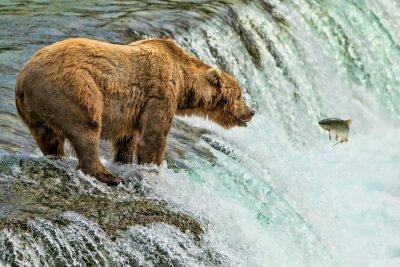 Fototapeta Grizzly Bear Katmai National Park Alaska