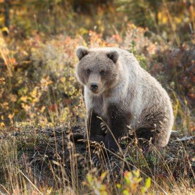 Fototapeta Grizzly v podzimních barvách na Aljašce