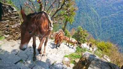 Fototapeta horských osli v Nepálu
